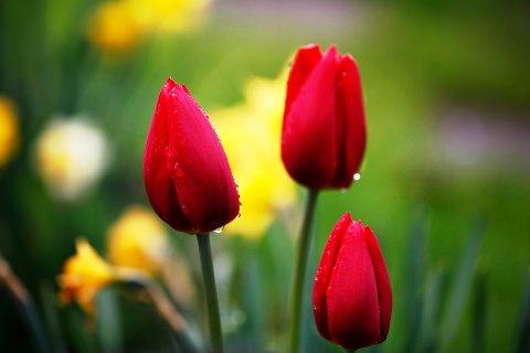 Що означає червоний тюльпан