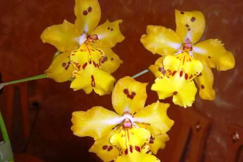 Орхідея Камбрія - догляд в домашніх умовах bd59d2f74bc84