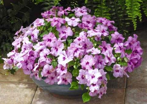 ... найкрасивіших кімнатних квітів. Бальзамін Уоллера фото e104652beb454