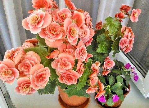 На фото 1 види бегонії (рожева і фіолетова) в вазонах на підвіконні