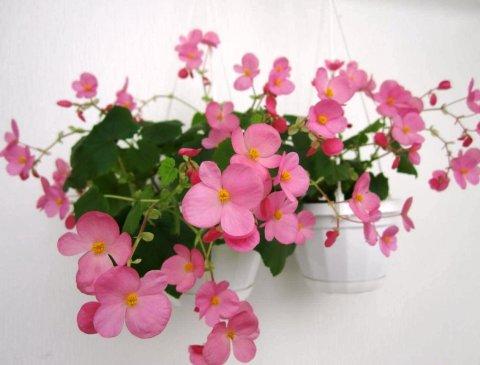 Рожева бегонія в світлому вазоні в світлій кімнаті 17