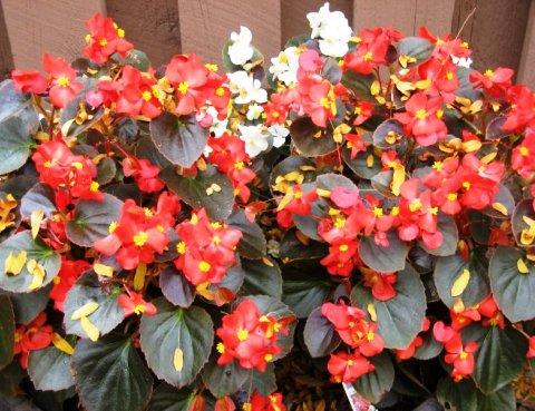 Садова бегонія фото 3