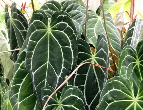 Anthurium_crystallinum